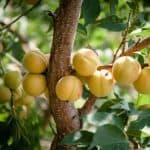 опылители абрикоса Триумф северный