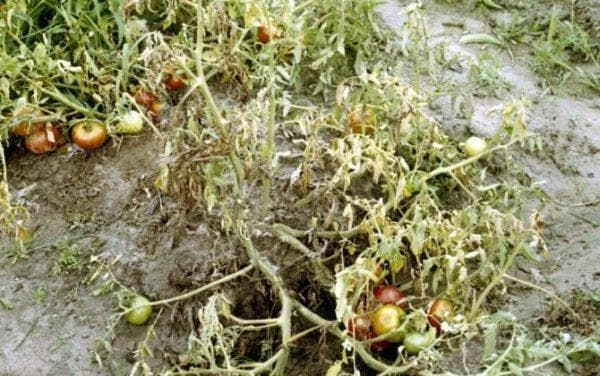 увядание на помидорах