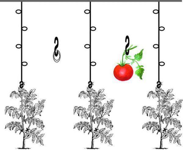 подвязка помидор в открытом грунте с креплением на крючки