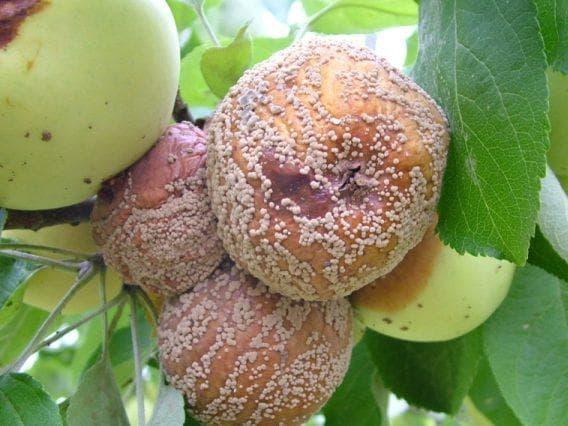 Мокрый ствол и листья у груш