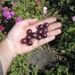 Смородина сорта Пигмей: описание, выращивание