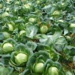 Гибридный сорт капусты Краутман: подробное описание