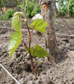 саженцы винограда в сибири
