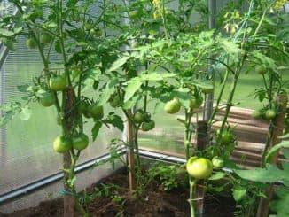 полив томатов во время цветения в теплице