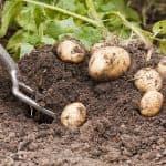 сидераты для картофеля весной