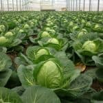 выращивание рассады цветной капусты в домашних условиях