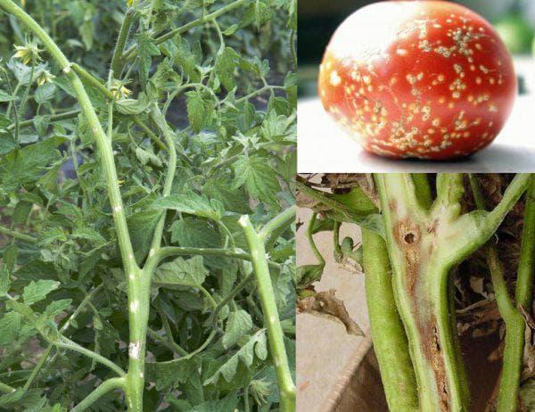 бактериальный рак на помидорах