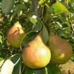средство от тли на груше и яблони