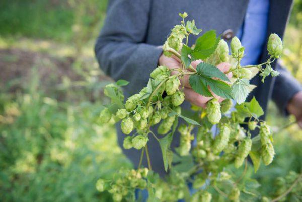 Как вывести хмель с огорода навсегда народными средствами