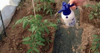 как убрать муравьев из теплицы с помидорами