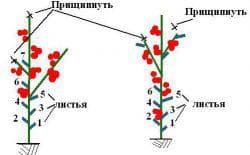 формирование куста томата
