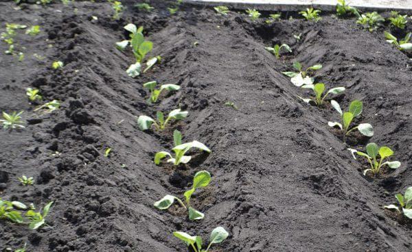 полив капусты по бороздам