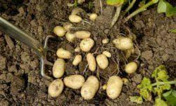 подкормка для картофеля