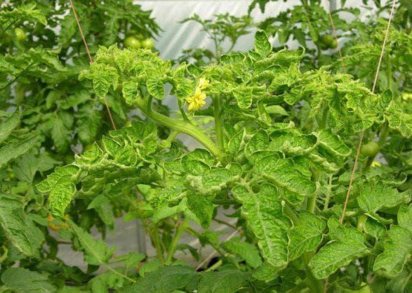 хлоротическая курчавость листьев помидоров