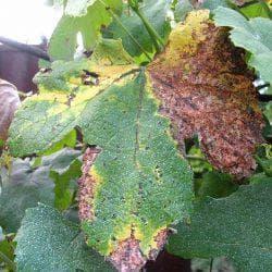 болезнь винограда мильдью