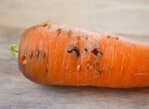Обработка моркови от морковной мухи нашатырным спиртом