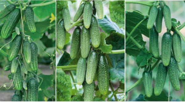 Способы обработки огурцов зеленкой