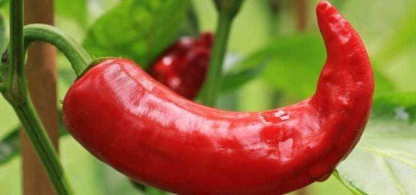 красный перец от жуков