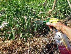 опрыскивание листьев томатов