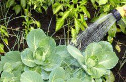 как поливать капусту