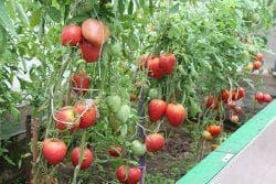 ухаживание за помидорами