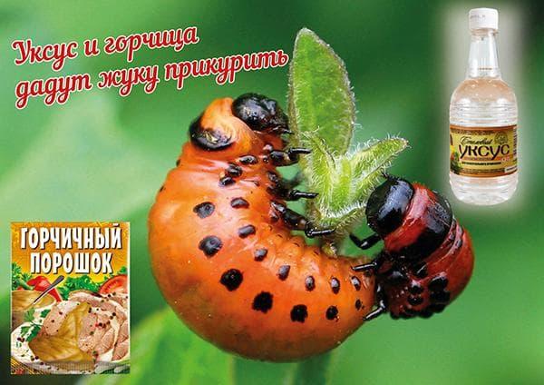 Какие средства от колорадского жука самые эффективные? Отзывы