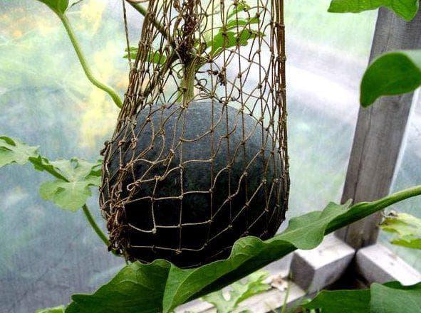 Как поливать арбузы и дыни в теплице