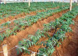 дистанция посадки помидор