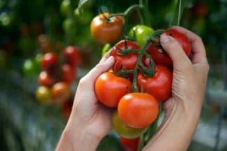 марганцовка йод борная кислота для помидор