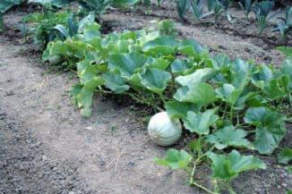 подкормка для арбузов и дынь