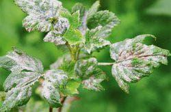 белый налет на листьях смородины