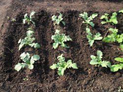посев редьки маргеланской