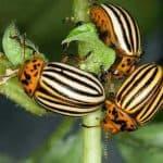 Список народных средств для борьбы с колорадским жуком