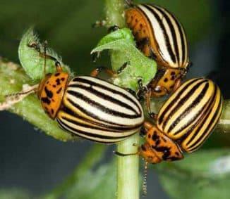 чем потравить колорадского жука народными средствами