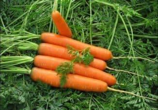 самые скороспелые сорта моркови
