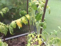 сыворотка и йод для огурцов и томатов