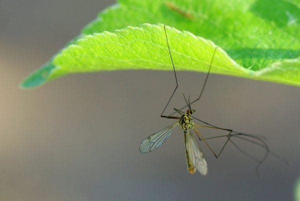 комарик виноградный