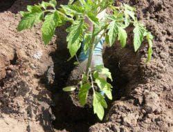 посадка рассады помидор