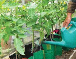 как поливать сывороткой огурцы и помидоры