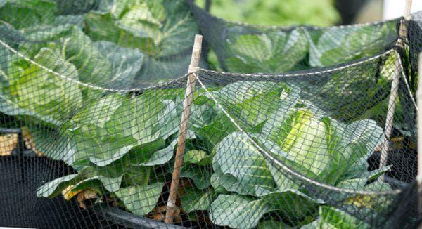 Защита капусты от вредителей народные и химические средства