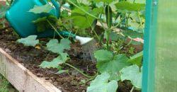 полив огурцов в теплице