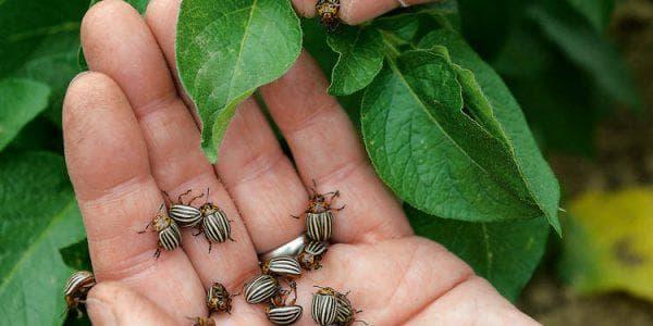 Как избавиться от колорадского жука народными и хическими средствами — 44030