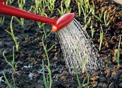 полив чеснока в открытом грунте