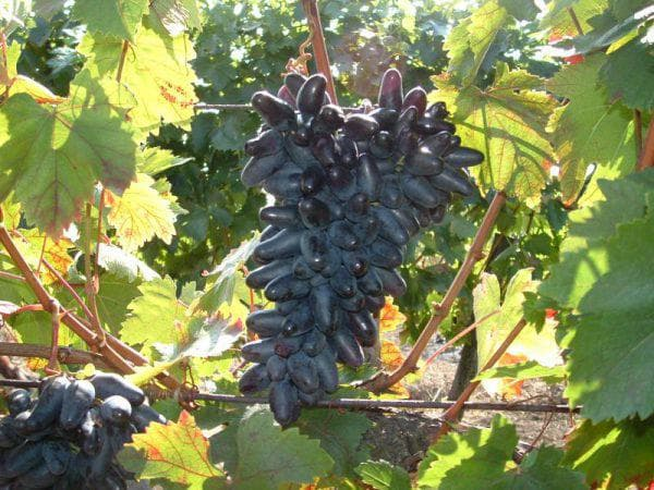 Сорта черного винограда: лучшие винные с мелкими ягодами