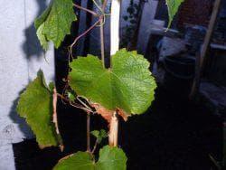 почему желтеют листья у саженцев винограда