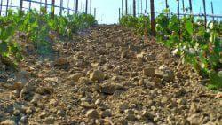 грунт у виноградника