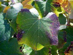 недостаток органики у виноградника