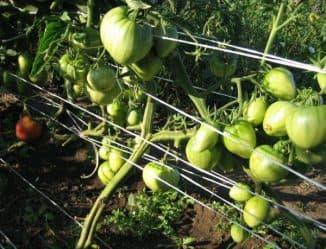 формирование томатов бычье сердце