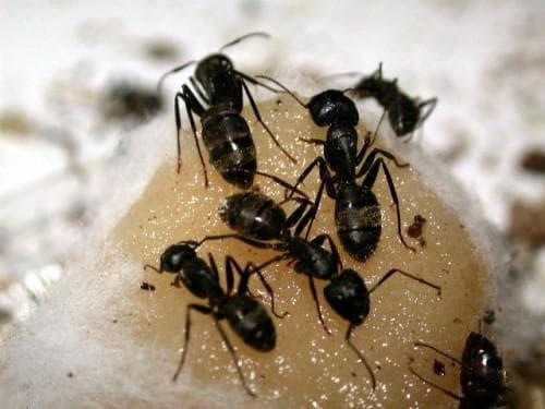 опудривание муравьёв