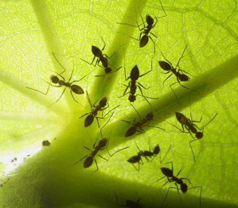 джем протов муравьёв